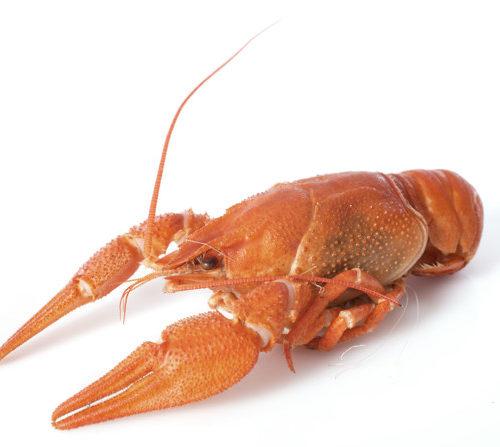 lagostim quitosana
